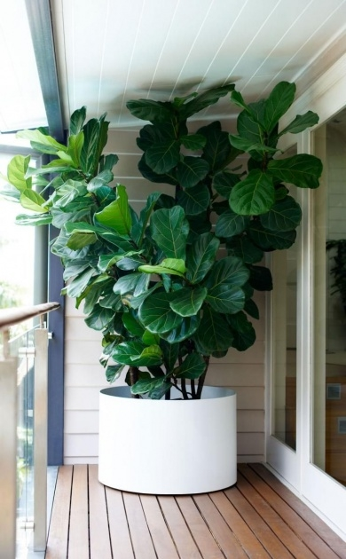 Top Large Leaf Tree For Indoors Photo
