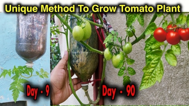 Wonderful Hanging Tomato Plants Picture