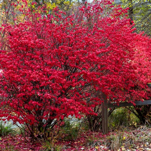 Amazing Tall Shrubs For Shade Picture