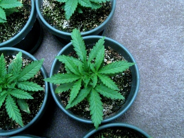 Amazingly Growing Weed Picture