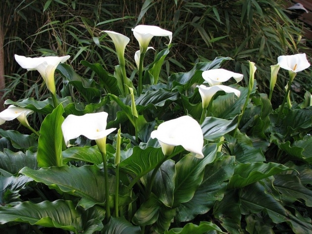 Best Calla Lily Plant Image