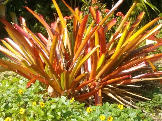 Best Cool Full-Sun Bromeliads For Florida Photo