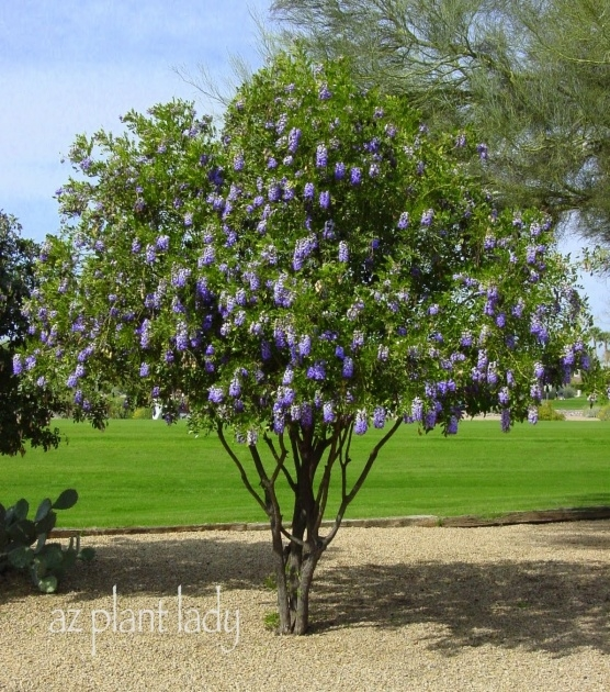 Best Cool Trees With Purple Blossoms In Arizona Picture