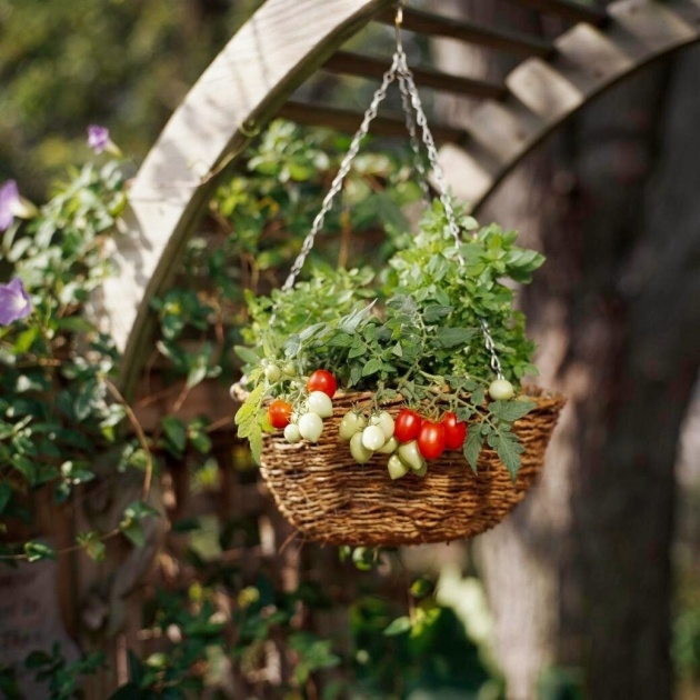 Best Hanging Tomato Plants Picture