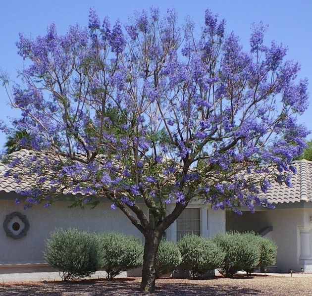 Best Trees With Purple Blossoms In Arizona Picture