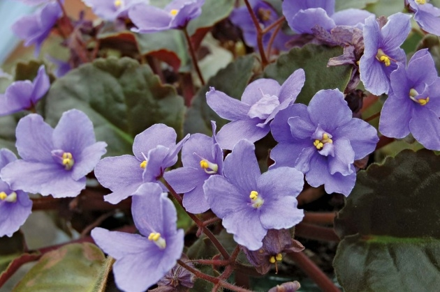 Easy African Violet Plant Picture