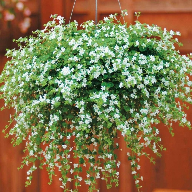 Easy Pictures Of Trailing Plants For A Hanging Basket Photo