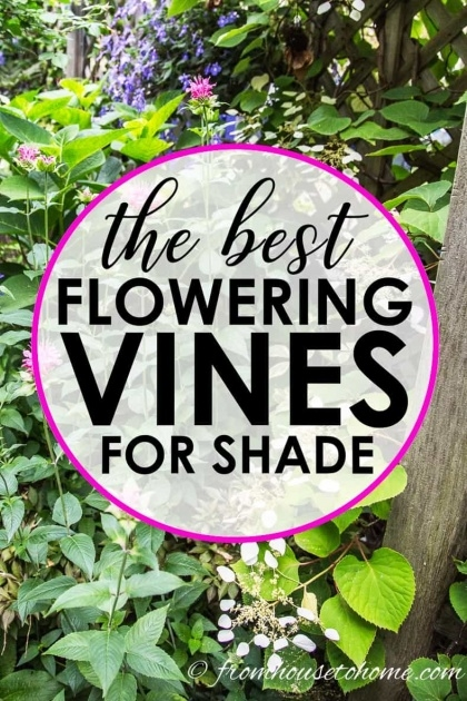 Fantastic Vines That Grow In Shade Picture