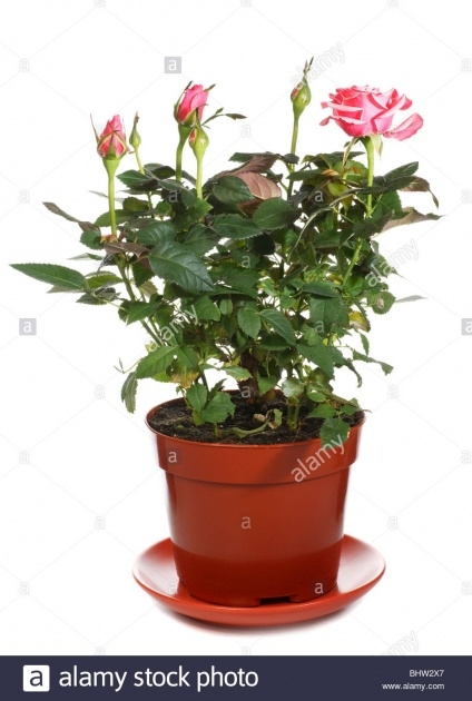 Fascinating Beautyful Rose In Pot Picture