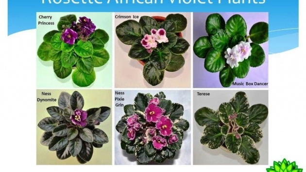 Gallery Of African Violet Plant Photo