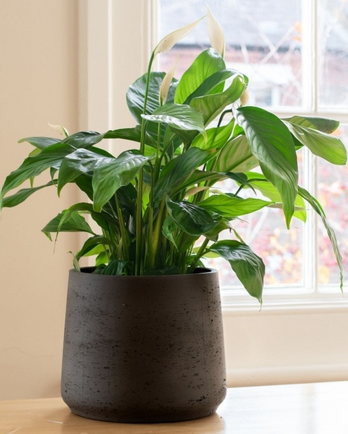 Good 25 Indoor Plants And Caring Tips Image