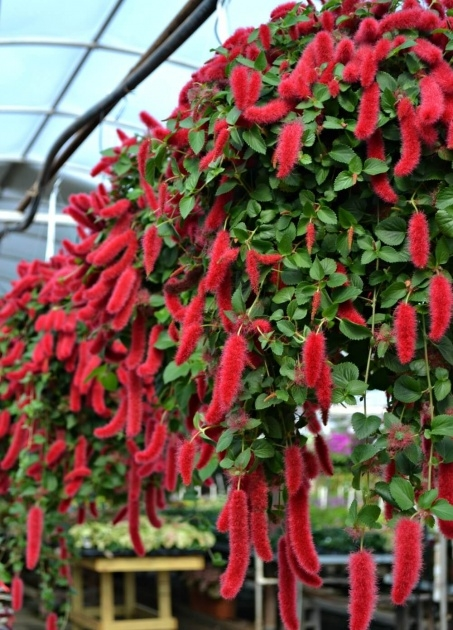 Gorgeous Pictures Of Trailing Plants For A Hanging Basket Photo