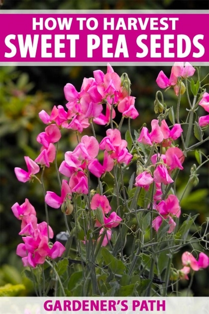 Gorgeous Sweet Pea Plant Picture
