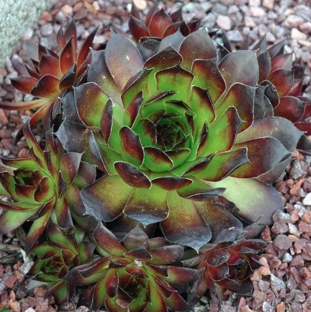 Great Hens And Chicks Plant Photo