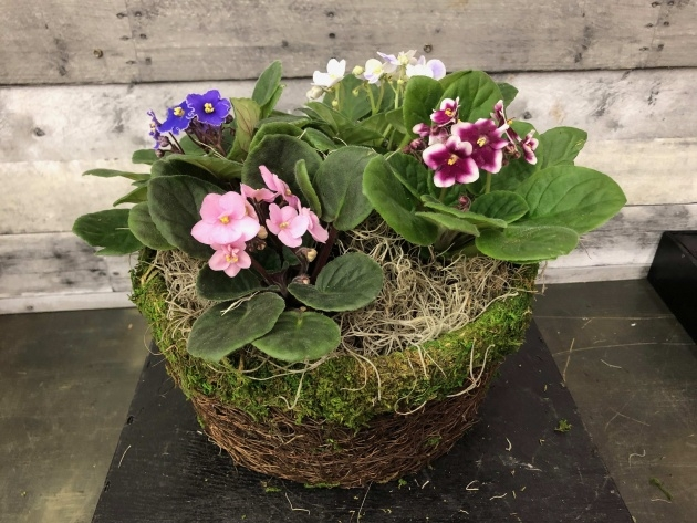 Great Ideas African Violet Plant Photo