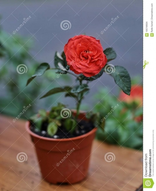 Great Ideas Beautyful Rose In Pot Picture