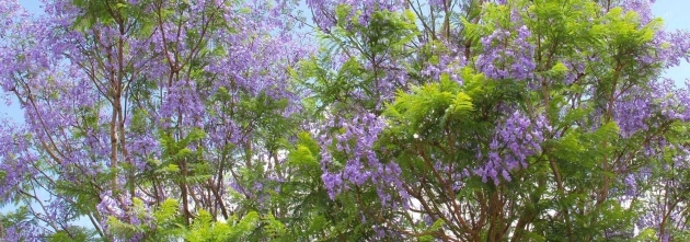 Great Ideas Trees With Purple Blossoms In Arizona Image