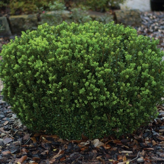 Great Shrub Plant Picture