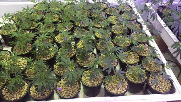 Great Weed Plants Indoors Image