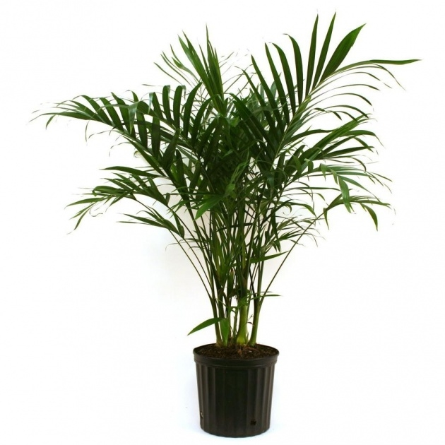Ideas for Palm Tree Plant Picture
