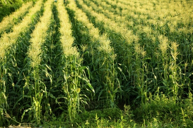 Ideas for Sweet Corn Plant Picture