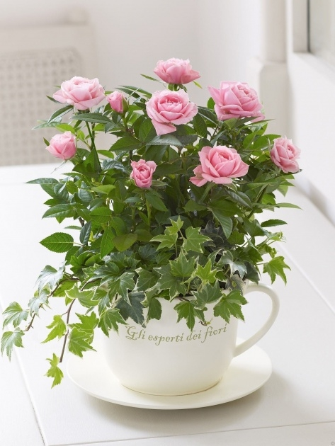 Inspiration Beautyful Rose In Pot Image
