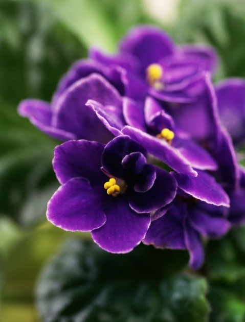 Inspirational African Violet Plant Picture