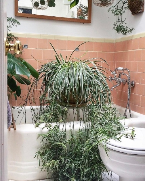 Inspirational Houseplants Scale On Spider Plants Picture
