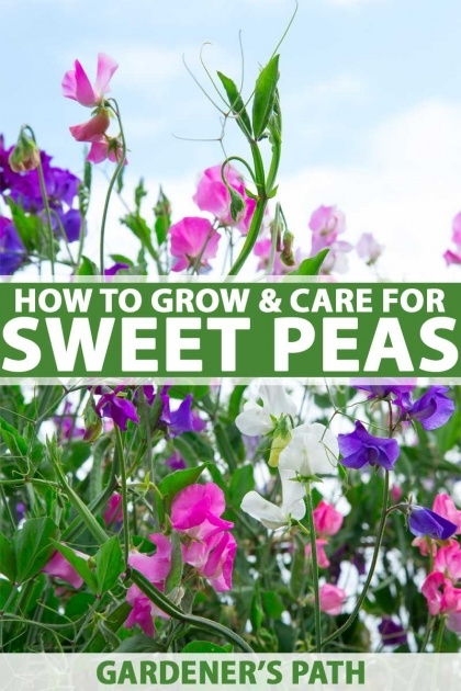 Inspirational Sweet Pea Plant Picture