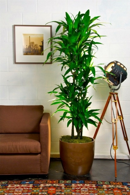 Inspirational Tall Indoor House Plants Trees Photo