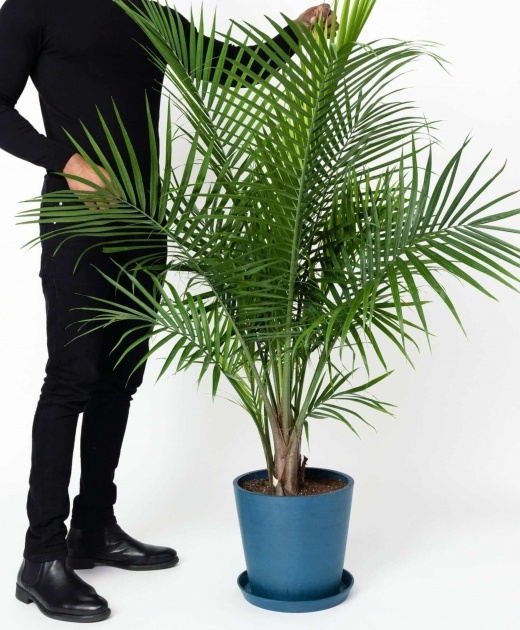Interesting Palm Houseplant Cant Support Itself Picture