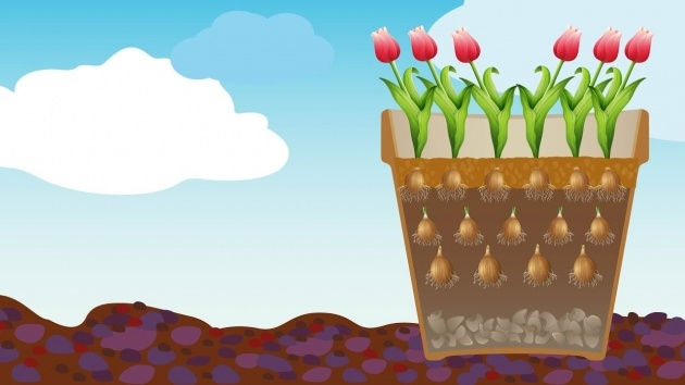 Marvelous Planting Tulip Bulbs Picture