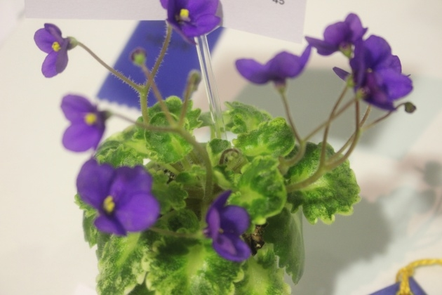 Most Creative African Violet Plant Picture