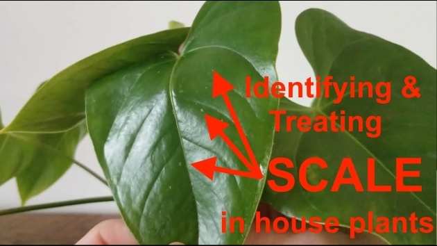 Most Creative Houseplants Scale On Spider Plants Image