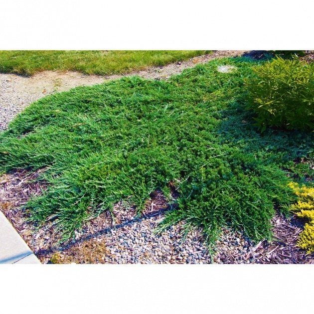 Most Creative Low Ground Cover Plants Photo