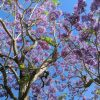 Trees With Purple Blossoms In Arizona