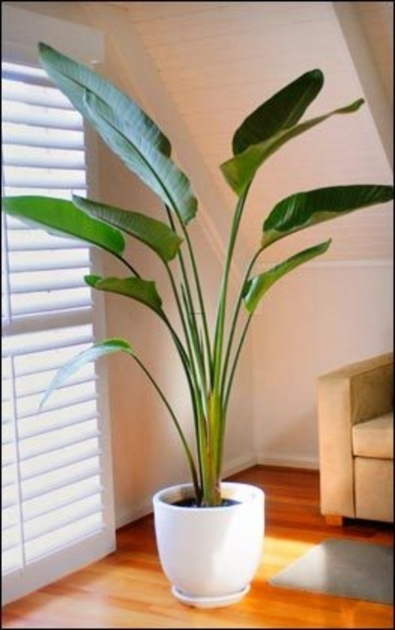 Most Perfect Tall Indoor House Plants Trees Picture