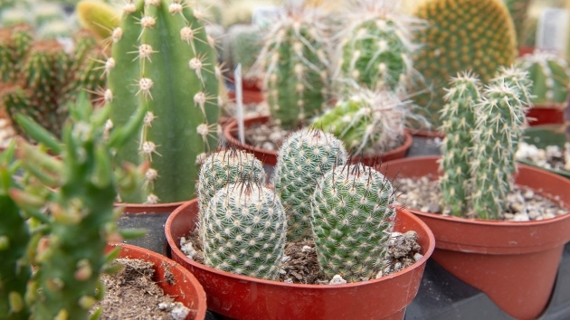 Most Popular Cactus That Dont Need Soil Image