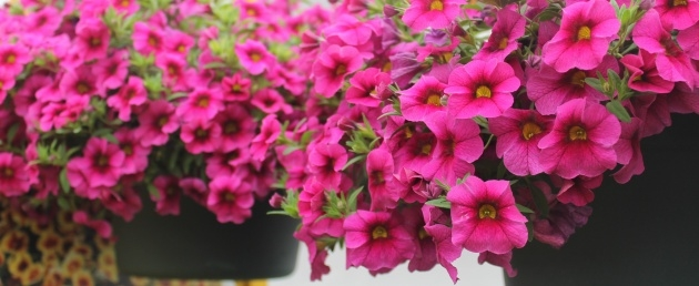 Most Popular Hanging Perennials Flowers For Containers Photo