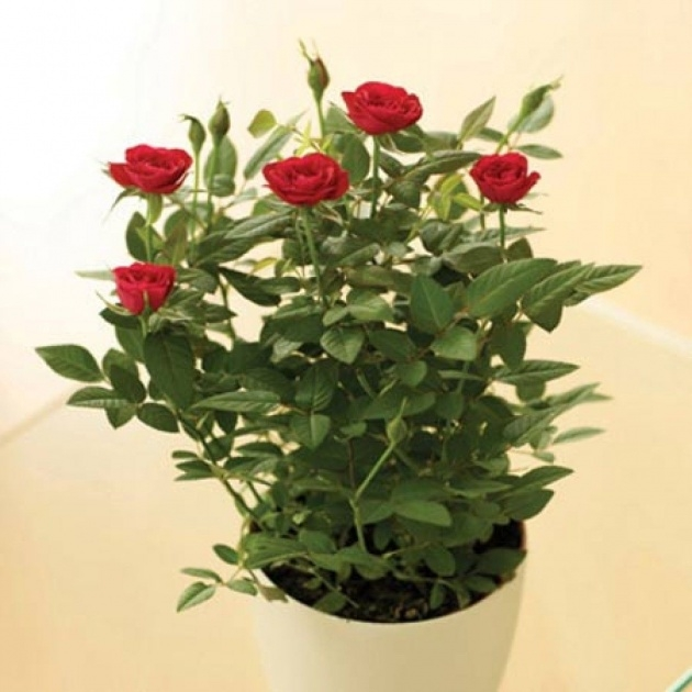 Outstanding Beautyful Rose In Pot Picture