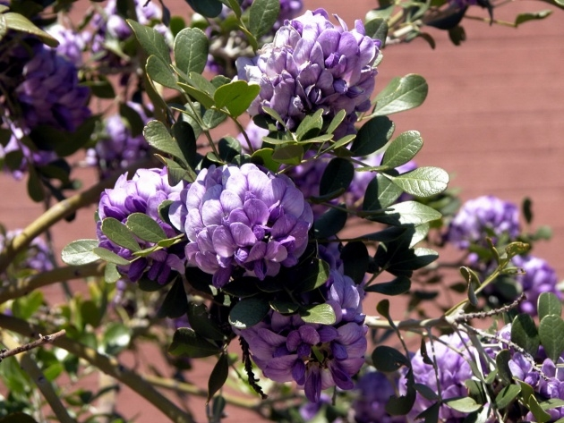 Perfect Trees With Purple Blossoms In Arizona Image