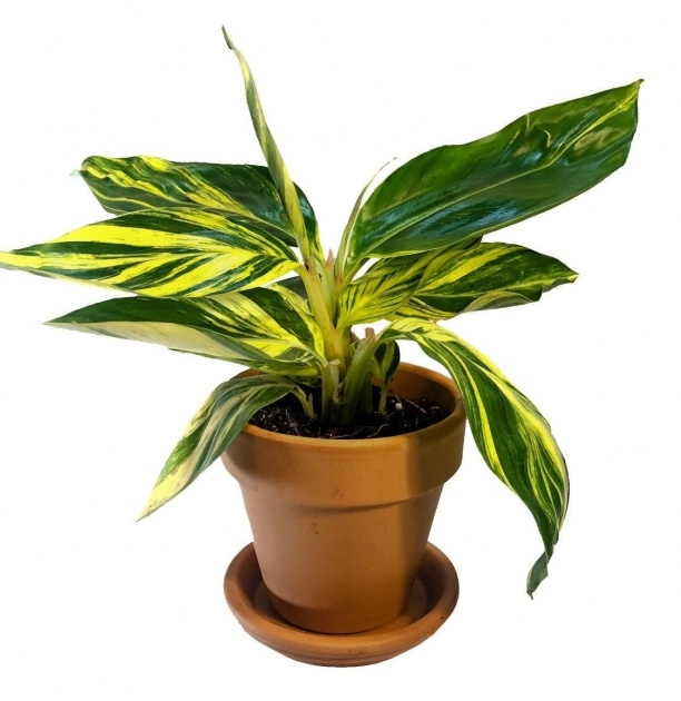 Popular Variegated House Plants Photos Image