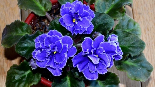Remarkable African Violet Plant Picture