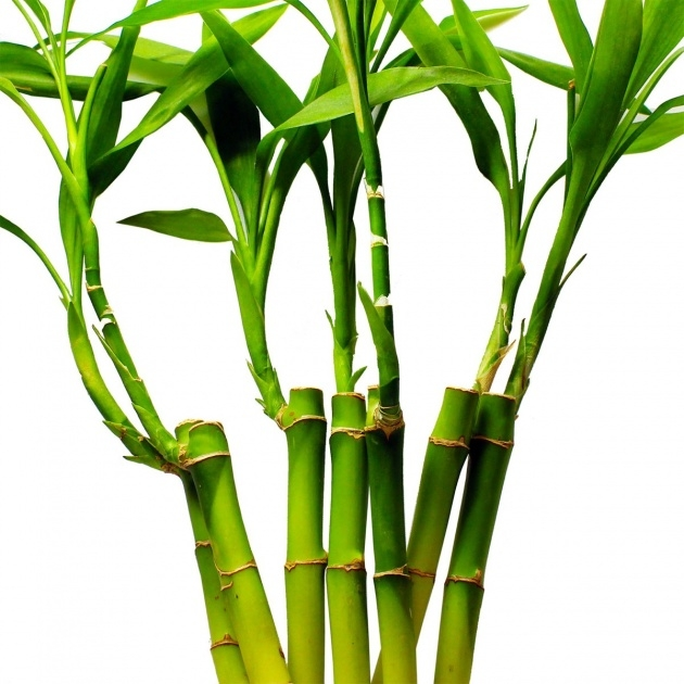 Remarkable Bamboo Plant Growth Image