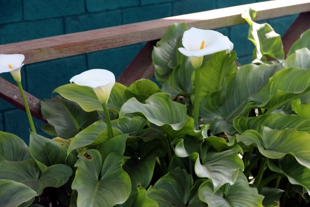 Remarkable Calla Lily Plant Image