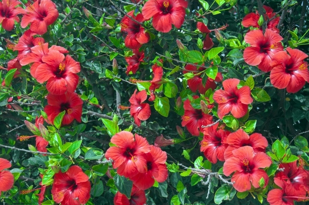Remarkable Hibiscus Plant Picture