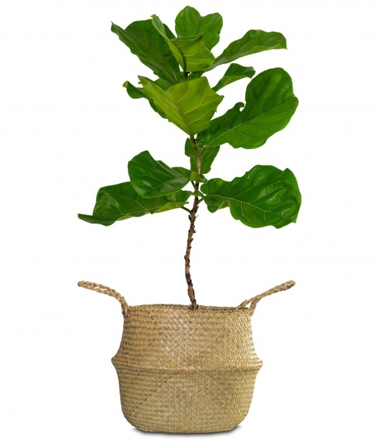 Simple Large Leaf Tree For Indoors Picture