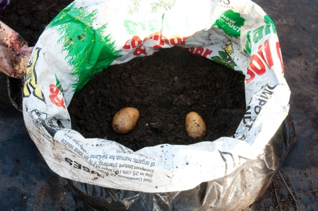 Stylish Planting Potatoes In Bags Photo