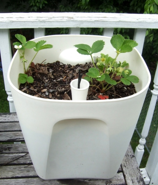 Stylish Self Watering Strawberry Planter Picture