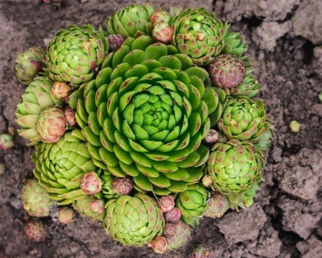 Surprising Hens And Chicks Plant Photo
